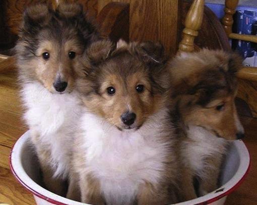 3 милых щенка колли