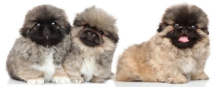 3 щенка пекинеса