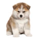 Сколько стоит щенок породы акита ину: особенности и цены