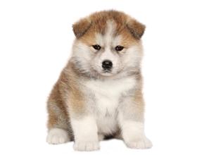 Сколько стоит щенок породы акита ину
