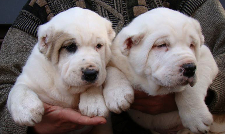 2 щенка алабя