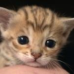 Сколько в среднем стоит кошка ашера и где ее можно купить?