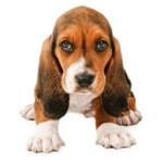 Сколько стоит щенок породы бассет хаунд и где его купить?