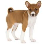 Сколько стоит щенок породы басенджи и где его можно купить?