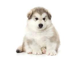 Сколько стоит щенок маламута: особенности и расценки