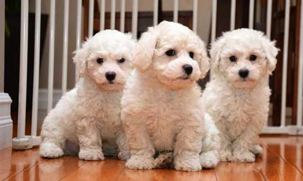 3 щенка бишон фризе