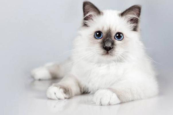 Красивый бирманский котенок