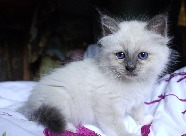 Милый бирманской котенок
