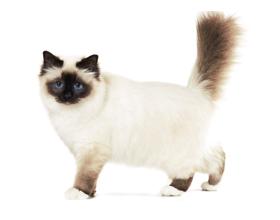 Бирманская кошка — сколько она стоит и где можно купить