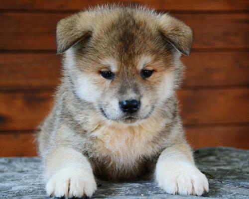Милый щенок Акита ину