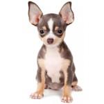 Сколько стоит собака породы чихуахуа — особенности ценообразования