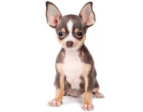 Сколько стоит собака породы чихуахуа