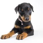 Сколько в среднем стоит щенок добермана: особенности и расценки