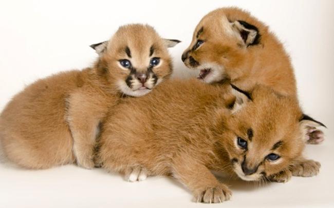 Котята породы каракал