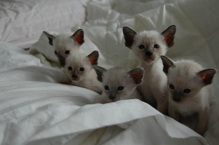 Красивые сиамские котята