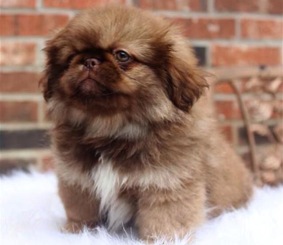 Красивый щенок Пенинеса