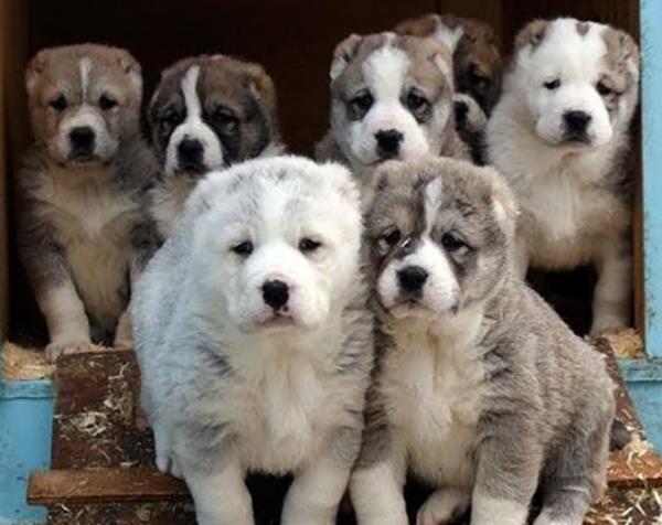 Красивые щенки алабая