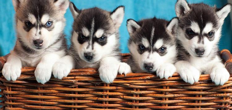 Красивые щенки хаски