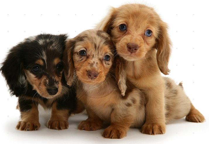 3 щенка таксы