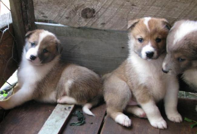Милые щенки лайки