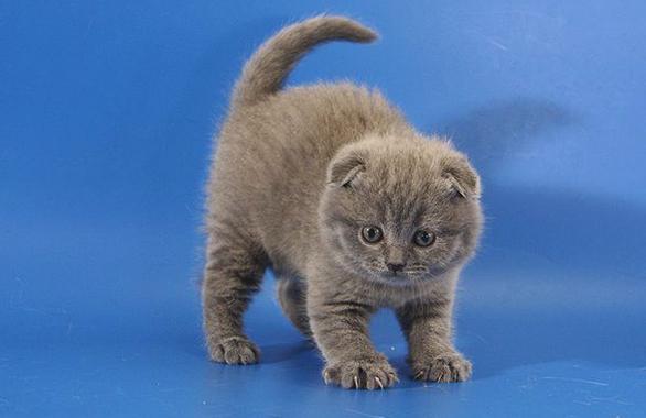 Милый вислоухий котенок
