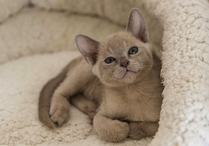 Милый котенок бурмы
