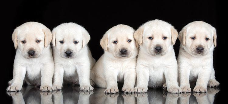 Милые белые щенки