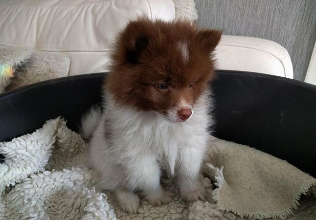 Красивый щенок Шпиц