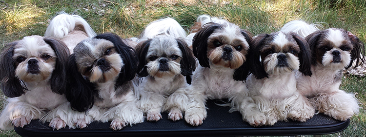 little red shih tzu shih tzu puppies for sale in utah