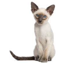 Сколько стоит ориентальная кошка и где ее можно приобрести