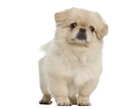 Сколько стоит собака породы пекинес