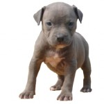 Сколько в среднем стоит щенок питбуля и где его можно купить?
