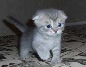Сколько стоит британский вислоухий котенок