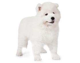 Самоедская собака — сколько стоит и где можно приобрести