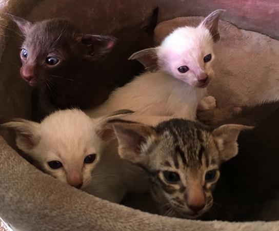 Красивые ориентальные котята