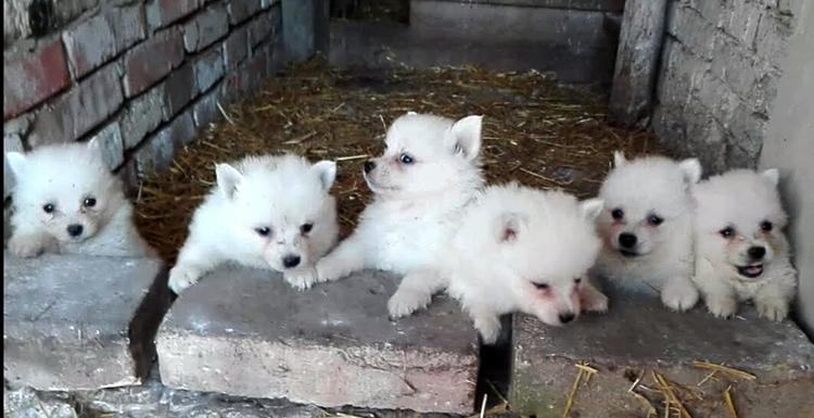 Милые щенки Шпица