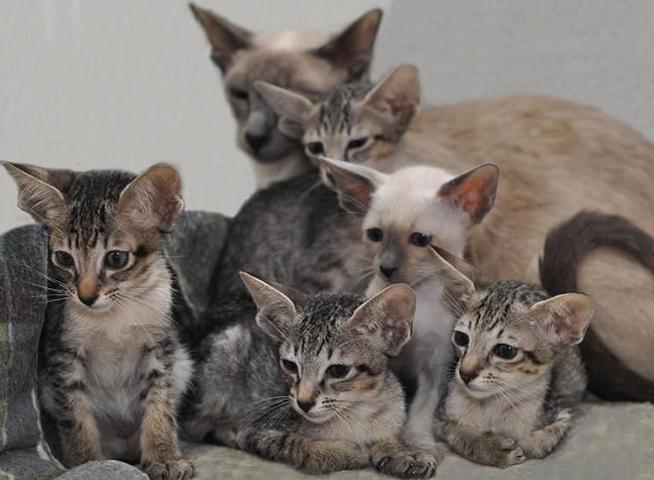 Котята ориентальной кошки