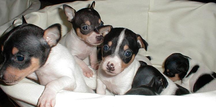 Красивые щенки той-терьера