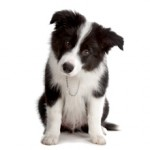 Сколько в среднем стоит щенок породы колли?