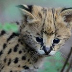 Сколько стоит кошка сервал: цены и особенности приобретения
