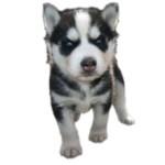 Сколько стоит щенок хаски и от чего зависит стоимость?