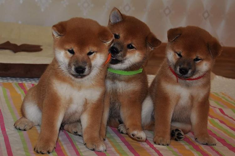 шиба ину фото щенки