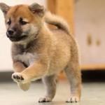 Сколько стоит щенок породы сиба ину и от чего зависит стоимость?