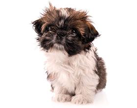 Сколько в среднем по России стоит щенок породы ши-тцу?