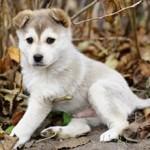 Сколько в среднем стоит щенок лайки и от чего зависит цена?