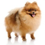 Сколько стоит собака породы шпиц — особенности ценообразования