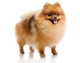 Сколько стоит собака породы шпиц