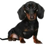 Сколько стоит щенок таксы: особенности и ценообразование