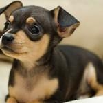 Сколько стоит щенок той терьера и от чего зависит цена?