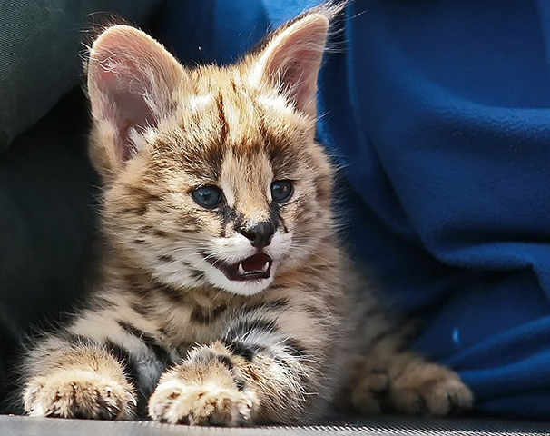 Внешний вид котенка сервала